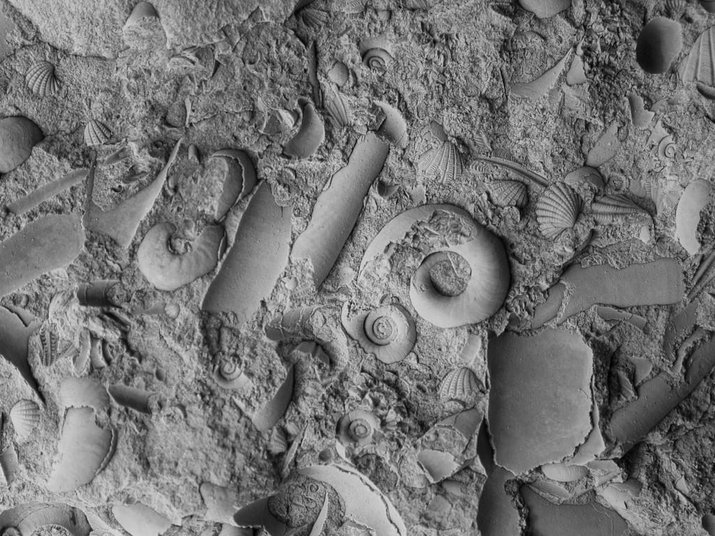 Łagów, dewońskie skamieniałości - głowonogi